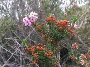 Antica-Via-Flacca-fioritura-primavera-Sperlonga-BBMalakiri